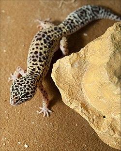 leopárd gekkó fogyás