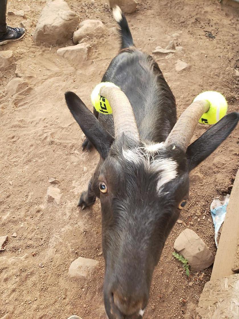 fogyás kecske kecskékben