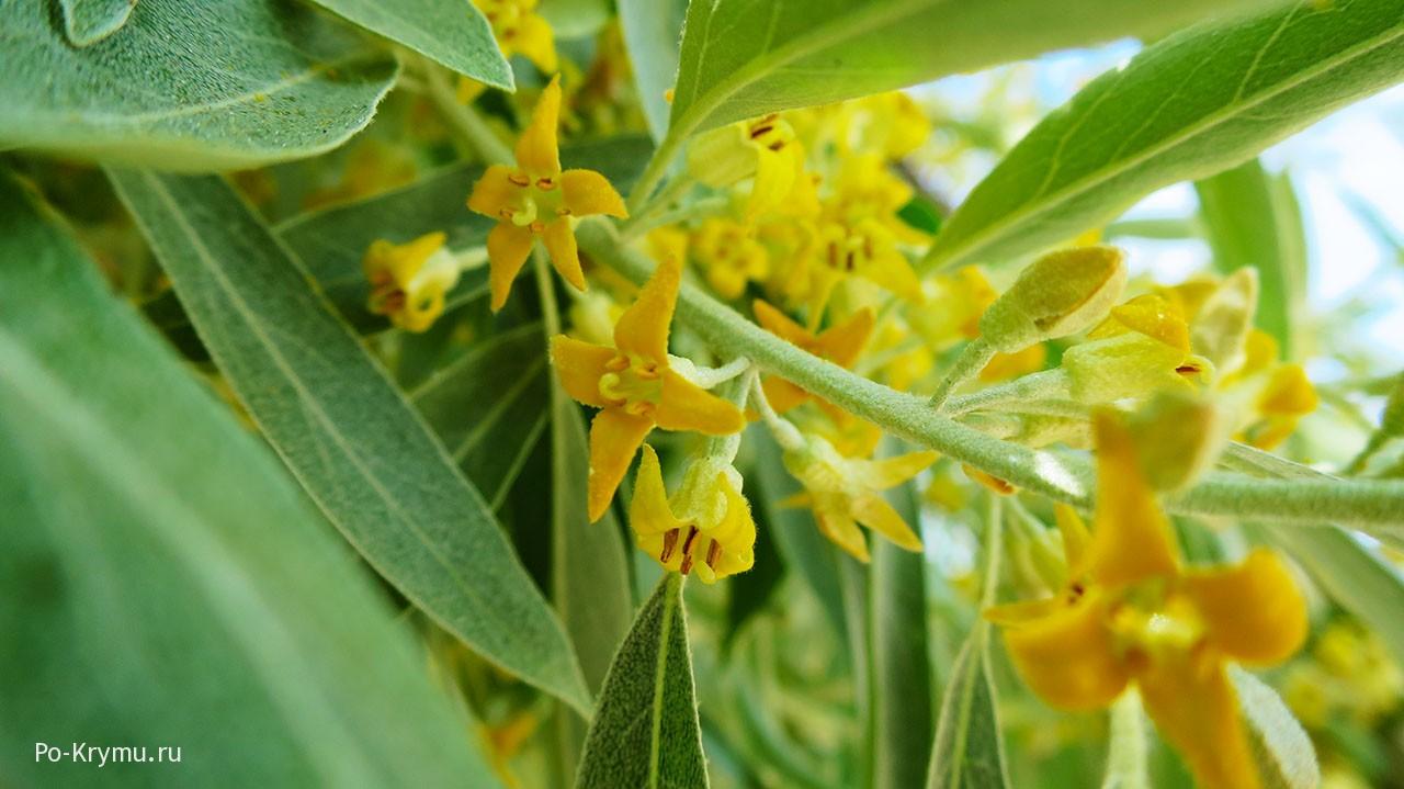 Mennyi ideig virágzik a camomiles - Gyümölcslevek