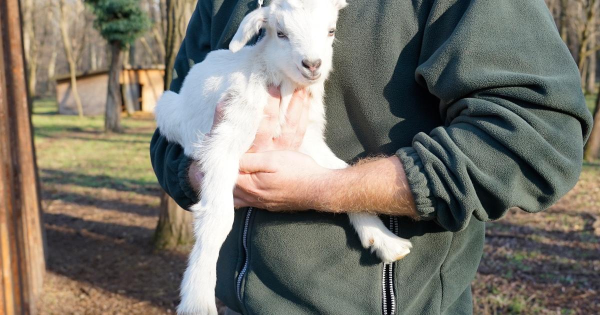 fogyás kecske kecskékben)