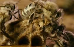 Hogyan vegye be a méh pollent - Hormonok July