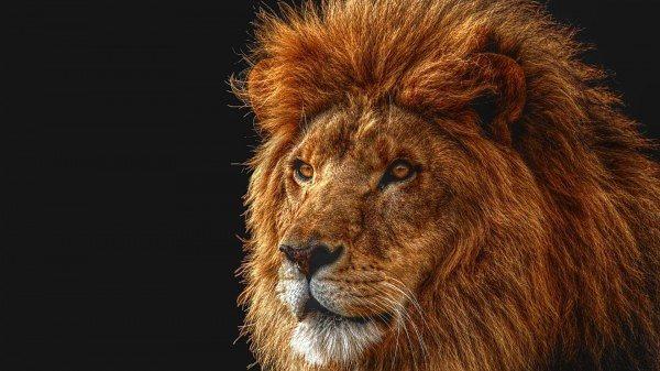 oroszlán sörény súlycsökkenés
