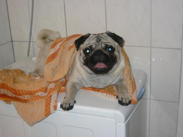 A francia bulldog betegségei - Wuuff Blog