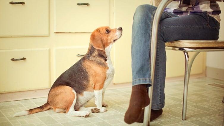 hogyan lehet, hogy a beagle lefogyjon