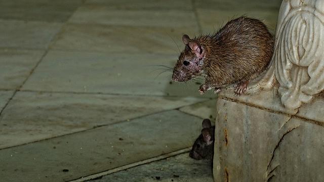 patkány fogyás távolítsa el a zsírt