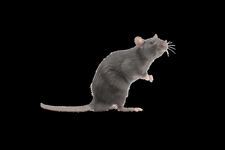 Patkány enni, de a fogyás
