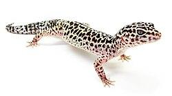 leopárd gekkó fogyás)