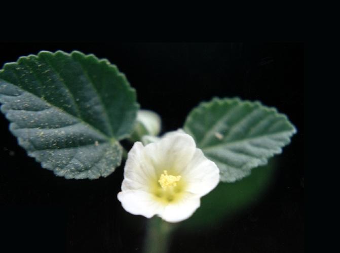 sida cordifolia fogyás