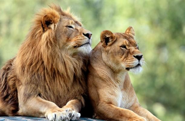 """""""Elférfiasodott"""" öt botswanai nőstény oroszlán"""