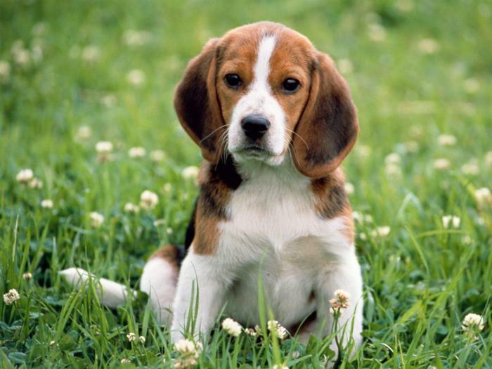 beagle nem fog fogyni