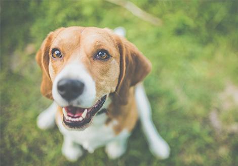 Beagle kutyám van és egyre csak hízik. Sportolok vele, kevesebb vacsit kap, de