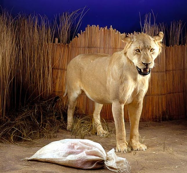 oroszlán sörény súlycsökkenés)