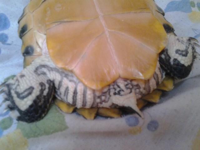 hogy a teknős lefogyott)
